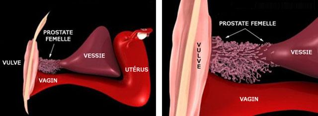 Ejaculation feminine